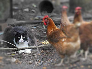 gatto_e_galline