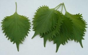 foglie-di-shiso
